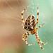 Garden Spider in the Garden