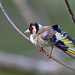 European Goldfinch, St Bees, Cumbria, England