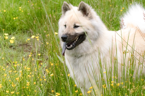 Eurasier Photos