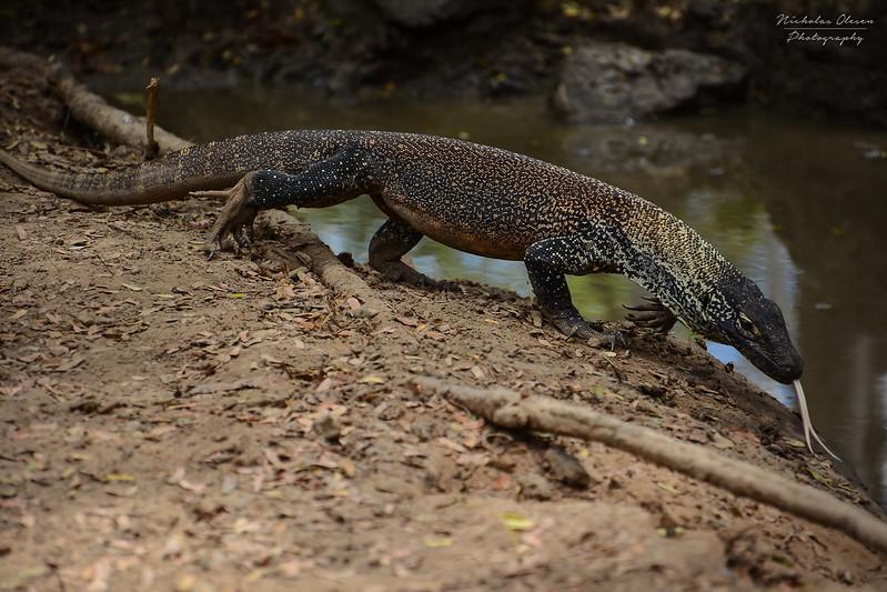 Indonesia | Komodo Dragon