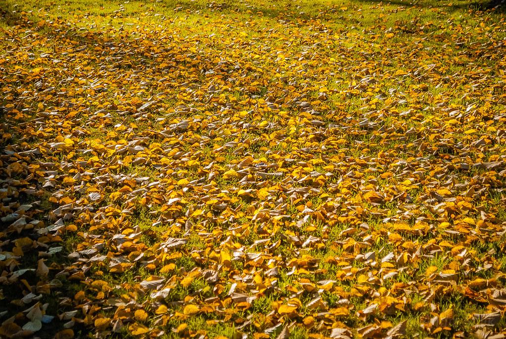 Great Autumn carpet  золотой ковёр!!! 10:58:10 DSC_3209