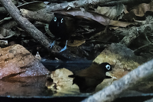 Cristalino Lodge: Two Bare-eyed Antbirds