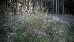 Calamagrostis villosa e Festuca ovina