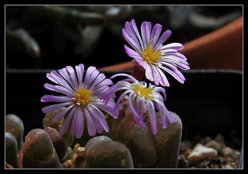 Ophtalmophyllum sp. 24021675308_59bf9fd6ae