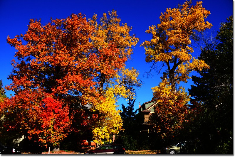 2017 Maple in Fall, Boulder, Colorado  (39)