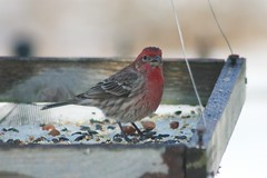 House Finch male