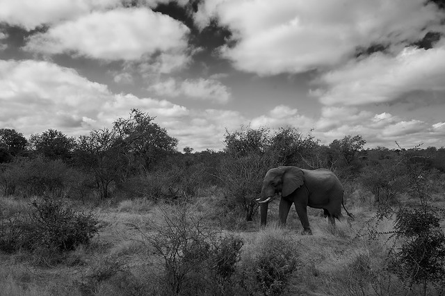 Elephant, Krugerpark, South Africa