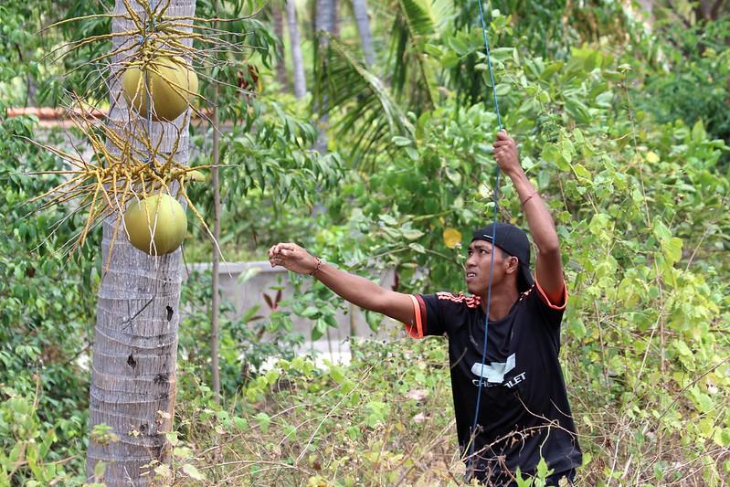 IMG_1221/Bali Island/Villa Sisi Pantaï/ Coco falling easely from coconut tree