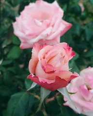 Charming pink roses
