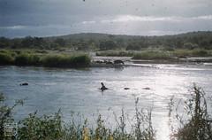 Hippos. Olifants River. Kruger
