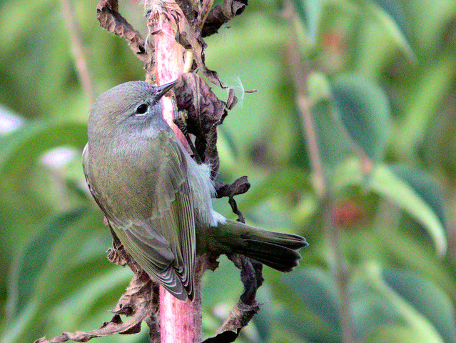 Orange-crowned Warbler 04-20171005