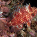 Small photo of Cryptic wrasse (Pteragogus cryptus)