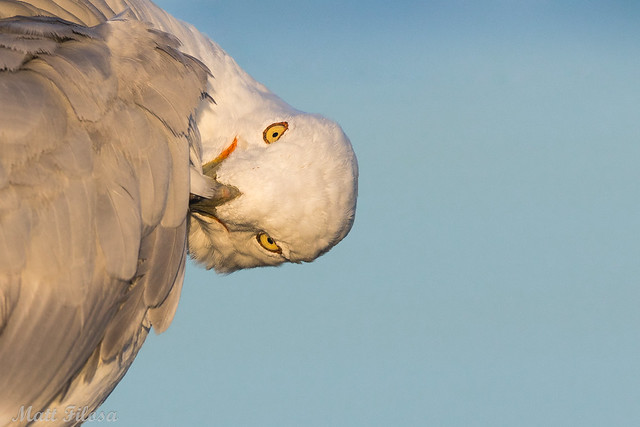 Ring-billed Gull Portrait