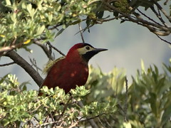 Crimson-mantled Woodpecker (Colaptes rivolii)