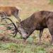 Red Deer Stag 14 Pt Cervus elaphus 045-1