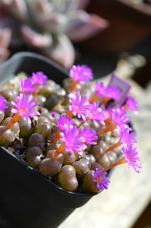 DSC_6571 Conophytum fenestratum コノフィツム フェネストラーツム 秋想
