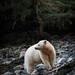 Kermode Bear by kellyjrusso