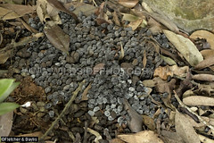 40754 Pile of dung droppings thought to be from repeated use of the site as a latrine by Serow (Capricornis sumatraensis) on a karst limestone hill, Kinta Valley, Perak, Malaysia. IUCN=Vulnerable.