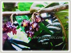Clusters of reddish-brown fruits of Vatica yeechongii (Resak Daun Panjang in Malay), exposing its ovoid nut, 21 Oct 2017