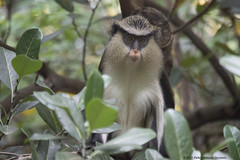 Adult female mona monkey