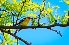 The Male Western Tanager