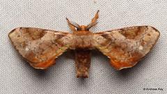 Silkworm Moth, Bombycidae
