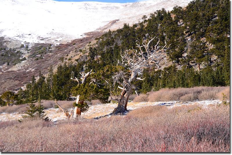 Bristlecone pine (6)