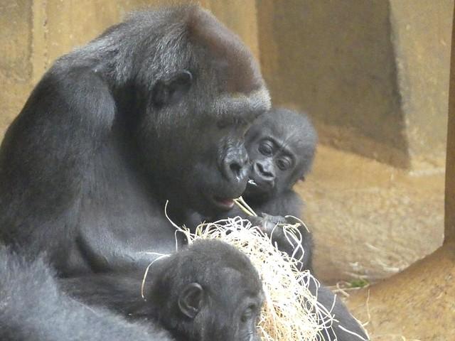 Gorilla, Zoo Hannover