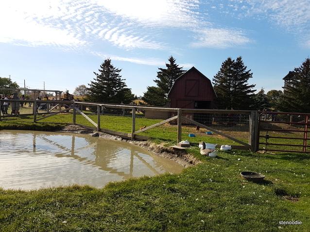 Ducks and chicken farm