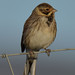 reed bunting 31 2017 male