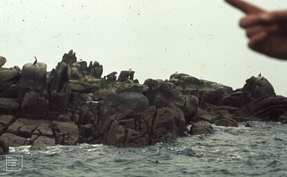 Shags and Great black-backed gulls on Annette Island. Scilly, 1973