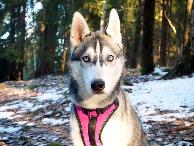snowdogs siberianhusky