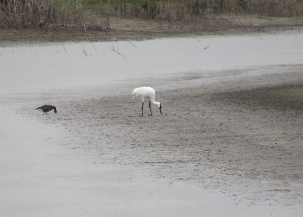 Whooping Crane #3