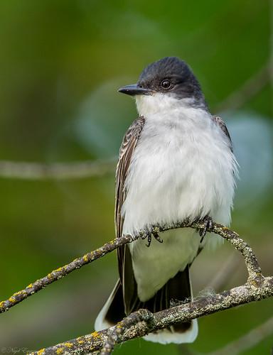 easternkingbird kingbird tyrannus tyrannidae tyrannustyrannus tyrantflycatcher nigelje okanaganfalls okanagan