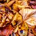 Autumn Leaves, Kibworth, Leicestershire