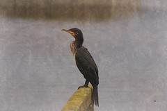 Le cormoran...