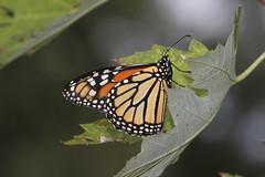 Monarch, female (Danaus plexippus)