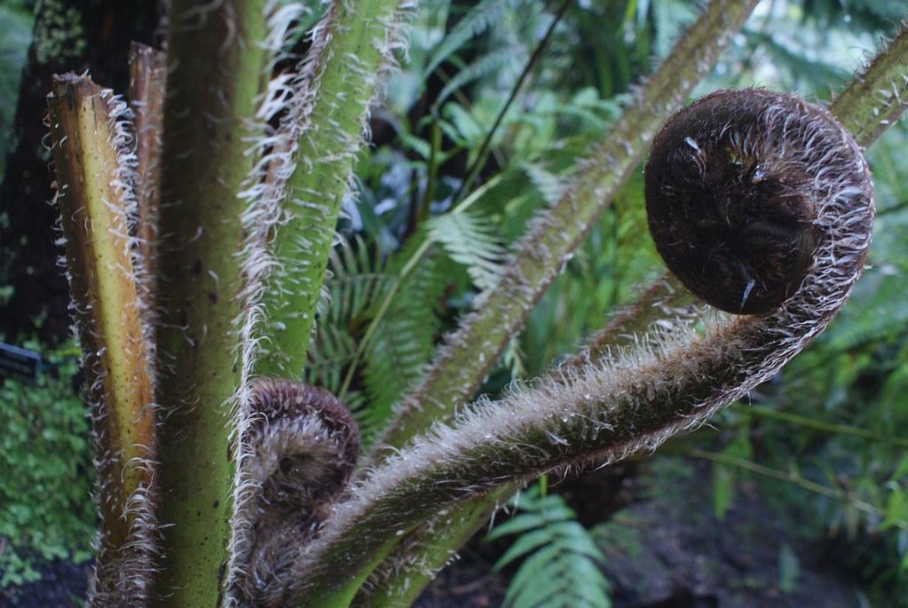 Fougères arborescentes au jardin botanique de Glasgow.