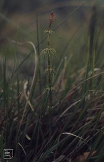Equisetum sylvaticum cone by Pentwyn Reserve, Dol y Gaer, June 1972