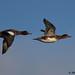 wigeon 23 2017 pair in flight