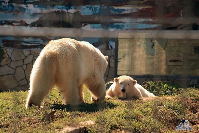 Eisbär Fiete im Sosto Zoo 01.10.2017 036