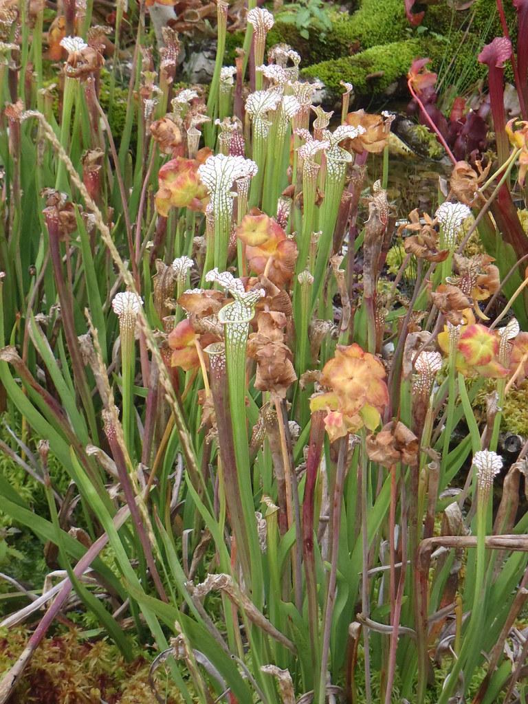 Sarracenia leucophylla Type 1