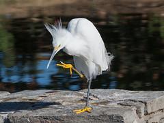 Evil Snowy White Egret