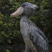 Shoebill by klange-yelp