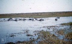 Hippos in pool, Kafue big Game reserve. Zambia. 1960