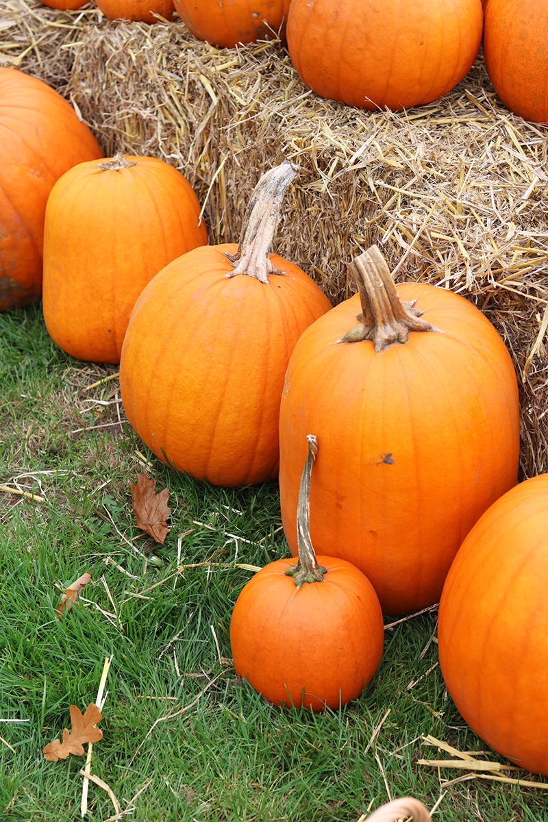 Adora Mehitabel Pumpkin Patch 4