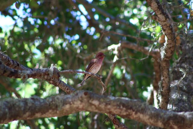 Purple Finch, Canon EOS REBEL T6I, Canon EF 75-300mm f/4-5.6 USM