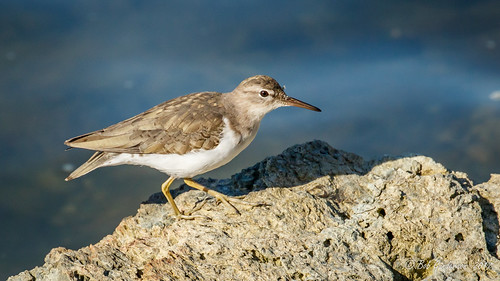 Spotted Sandpiper (Winter)