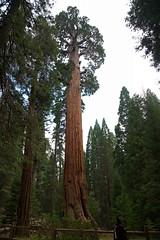 California - Secuoya General Grant Tree