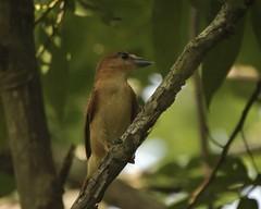 Cinnamon Becard (Pachyramphus cinnamomeus)